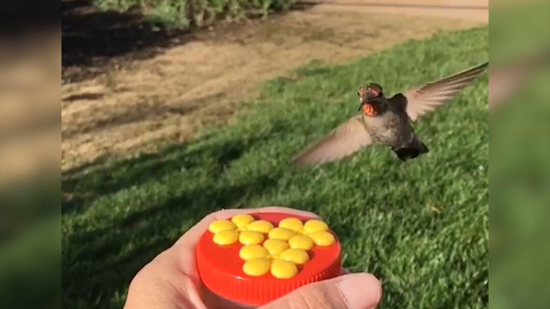 Zobacz, jak wygląda koliber nagrany w kilkuset klatkach na sekundę
