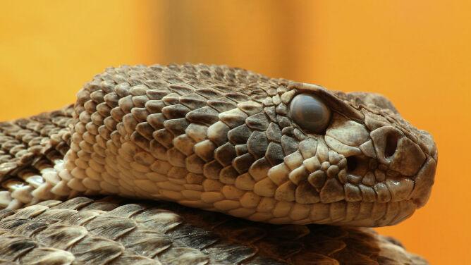 Odciął wężowi głowę, a ta go ukąsiła. <br />Mężczyzna ledwo uszedł z życiem