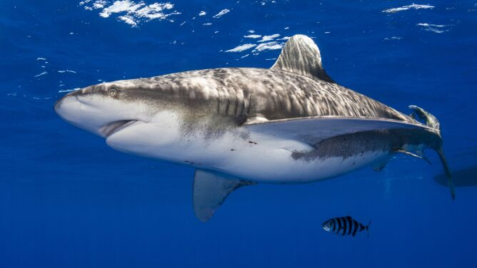 Łowił ryby, złapał rekina. <br />Drapieżnik ugryzł wędkarza w rękę