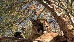 Puma płowa to gatunek drapieżnego ssaka z rodziny kotowatych (California Department of Fish & Wildlife)